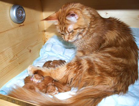 Persian Cats And Kittens   Orange Tabby Maine Coon Kitten